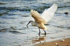 Большой flapping рыбной ловли egret подгоняет на побережье Стоковое Фото