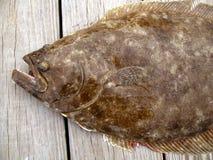 большой flounder Стоковые Изображения