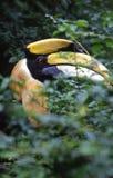 большой hornbill Стоковая Фотография