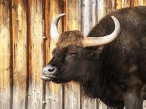 Большой horned пакостный темный бык Стоковое Изображение RF