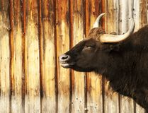 Большой horned пакостный темный бык Стоковая Фотография