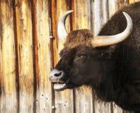 Большой horned пакостный темный бык Стоковые Фото
