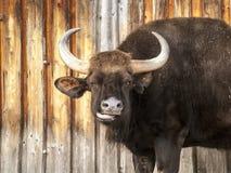 Большой horned пакостный темный бык Стоковое Фото