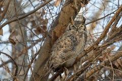 Большой horned сыч спать в дереве Стоковые Изображения RF