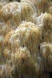 большой hydnum hericium coralloides коралла любит Стоковая Фотография