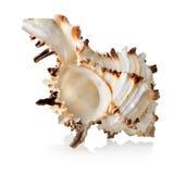 Большой seashell   Стоковые Фото