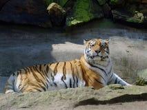 большой siberian тигр Стоковая Фотография