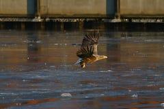 Большой woodpecker - красивый колорит стоковая фотография rf