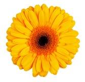 Большой yellow-orange цветок gerbera Стоковое Изображение