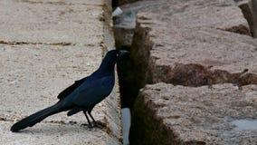 Больш-замкнутое grackle на моле в гаван Aransas, Техасе видеоматериал
