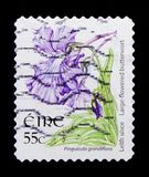 Больш-зацветенный Butterwort - жирянка grandiflora, serie 2004-2011 Definitives полевых цветков, около 2007 Стоковая Фотография