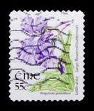 Больш-зацветенный Butterwort - жирянка grandiflora, serie 2004-2011 Definitives полевых цветков, около 2007 Стоковая Фотография