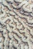 Больш-калиброванный коралл мозга Стоковое Изображение RF