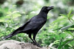 Больш-представленная счет ворона Стоковое Изображение