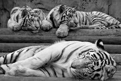 больш своя белизна tigress котят стоковые изображения