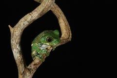 Больш-eyed лягушка вала Стоковое Изображение RF