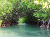 Бонайре - мангровы Стоковое Фото