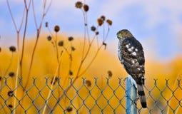 бондаря hawk juvenile Стоковое Изображение RF