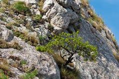 бонзаи естественные Стоковые Изображения RF
