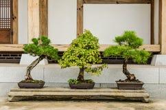 Бонзаи - искусство расти точная реплика реального дерева в m стоковая фотография