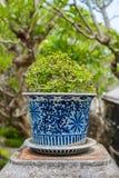Бонзаи, сиамский грубый куст в баках фарфора Стоковые Изображения RF