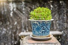 Бонзаи, сиамский грубый куст в баках фарфора Стоковые Изображения