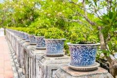 Бонзаи, сиамский грубый куст в баках фарфора Стоковое Изображение