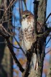 бондаря hawk свои замки на prey Стоковые Фотографии RF