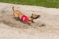 Борзая в ящике с песком Стоковая Фотография