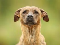 Борзая и собака labrador стоковое изображение