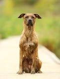 Борзая и собака labrador стоковое фото