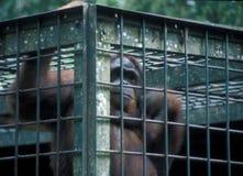 Борнео: Orang Utan для его собственное поднимающего вверх безопасности запертое за решеткой Стоковые Изображения