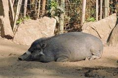 Боров хряка отдыхая на зоопарке Стоковое Изображение RF