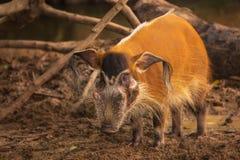 Боров Red River, свинья куста Стоковое Изображение RF
