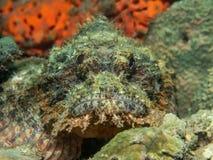 Бородавчатка на коралле Стоковое Изображение