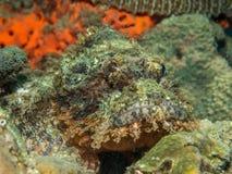 Бородавчатка на коралле Стоковые Фото