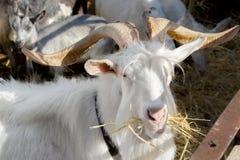 Бородатая белая коза с большими рожками на ферме Стоковая Фотография RF
