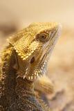 бородатая сторона дракона Стоковые Изображения RF