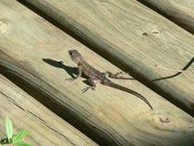 бородатая ящерица дракона Стоковое Фото