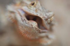 бородатая ящерица дракона Стоковые Изображения
