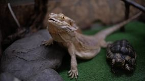 Бородатые дракон и черепаха в vitticeps Pogona terrarium видеоматериал