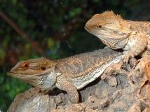 бородатые пары ящериц дракона Стоковые Изображения