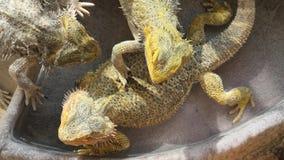 Бородатые ящерицы дракона в водном бассейне сток-видео