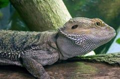 бородатый дракон восточный Стоковое Изображение RF