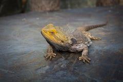 Бородатый дракон на утесе Стоковое Фото