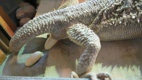 Бородатый дракон свергнуть яйца видеоматериал