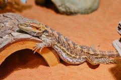 Бородатый дракон спать в terrarium стоковая фотография rf