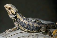 Бородатый дракон 18 Стоковое Изображение RF