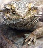 Бородатый дракон 2 стоковая фотография rf