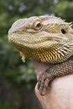 Бородатый дракон Стоковые Фотографии RF